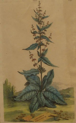16: pair of Abraham Munting hand colored Botanical engr