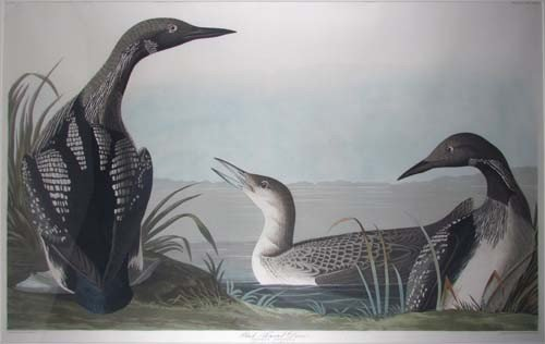 "507: Audubon Havell edition ""Black Throated Diver"""