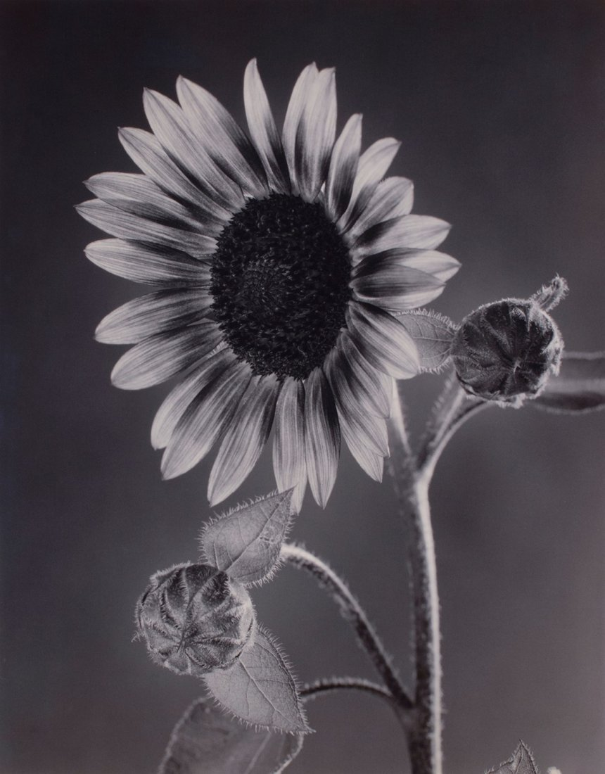 Tom Baril -  Sunflower and Buds, 2001