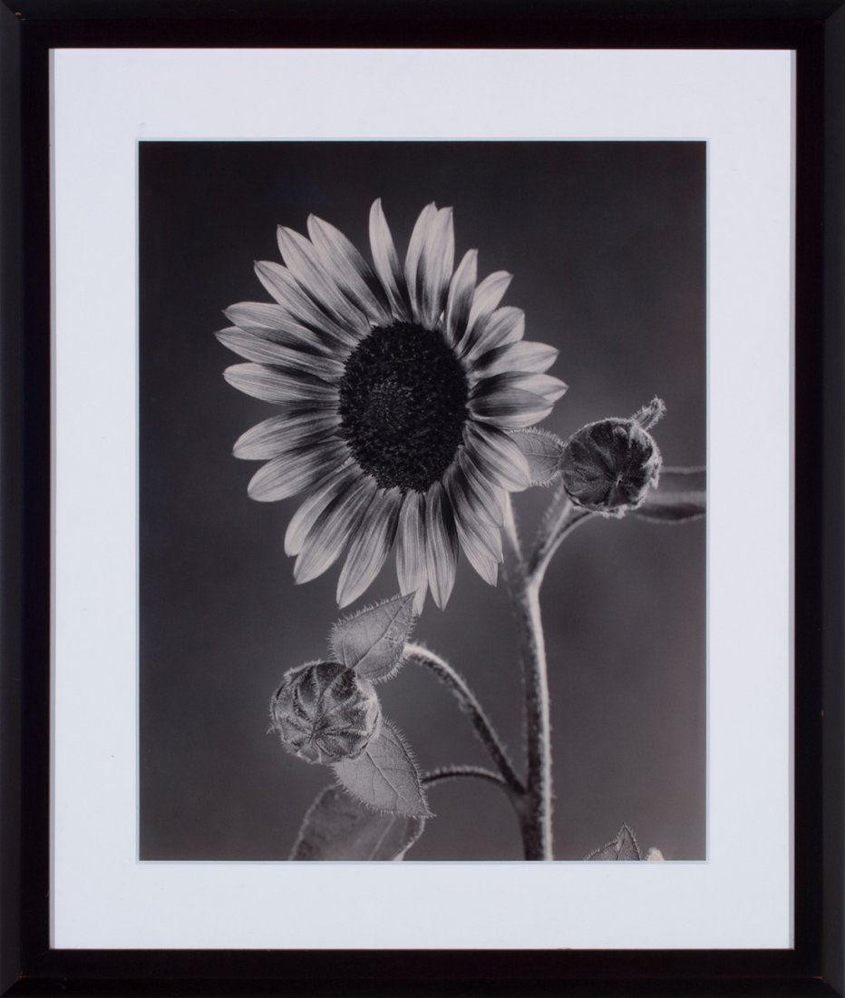 Tom Baril -  Sunflower and Buds, 2001 - 2