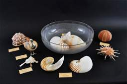 GROUP OF ELEVEN ASSORTED EXOTIC SEA SHELLS