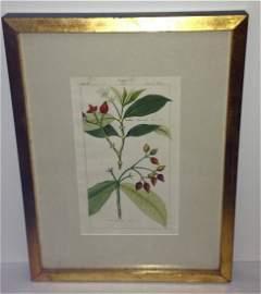 Nathaniel Deitrichs. Coffea Plants