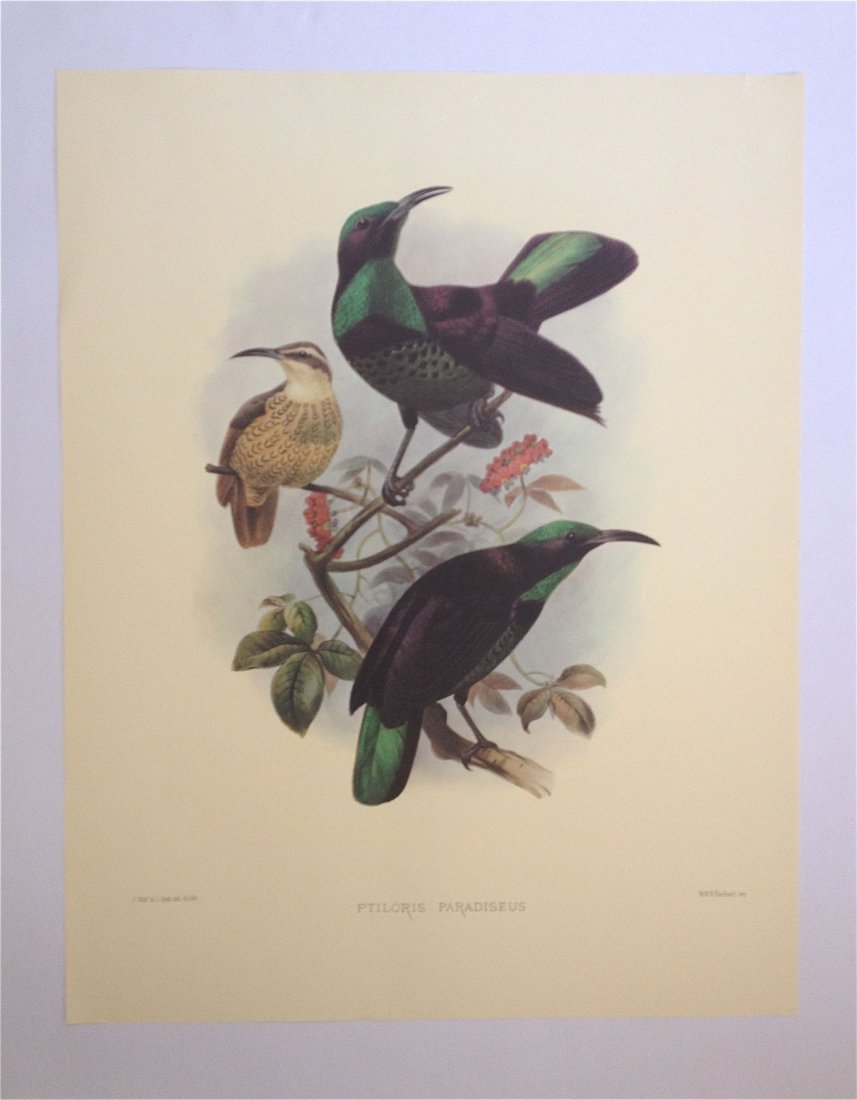 """Birds of Paradise,"" Daniel Giraud Elliot. London,"