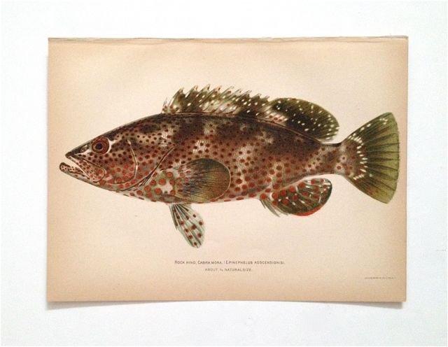 """Fish of Puerto Rico"" c. 1880"