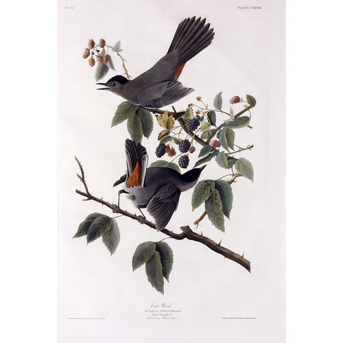 "6: John James Audubon ""Cat Bird,"" hand-colored engravin"