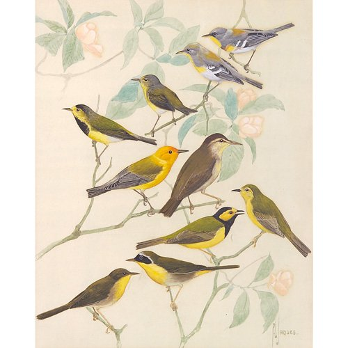"""8: Francis Lee Jaques """"Wood Warblers"""", watercolor on pa"""