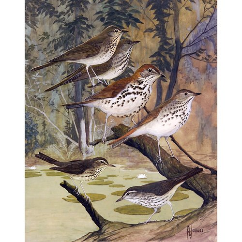 """10: Francis Lee Jaques """"Thrushes and Warblers"""", waterco"""