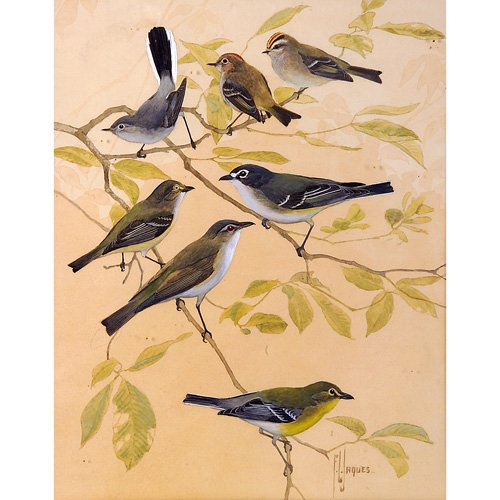 14: Francis Lee Jaques Various Birds, watercolor on pap