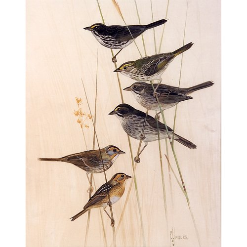 """16: Francis Lee Jaques """"Sparrows of the Salt Marshes"""","""