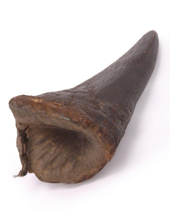 Old African Rhinoceros Horn