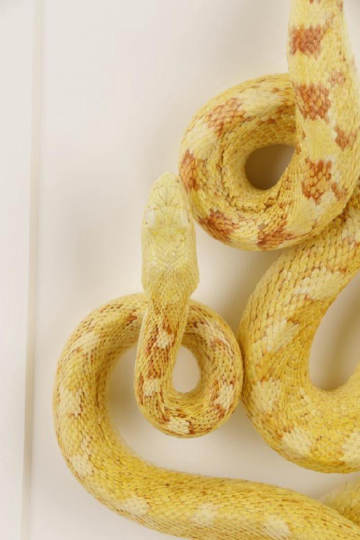 Christopher Marley, Albino Bull Snake Specimen - 3