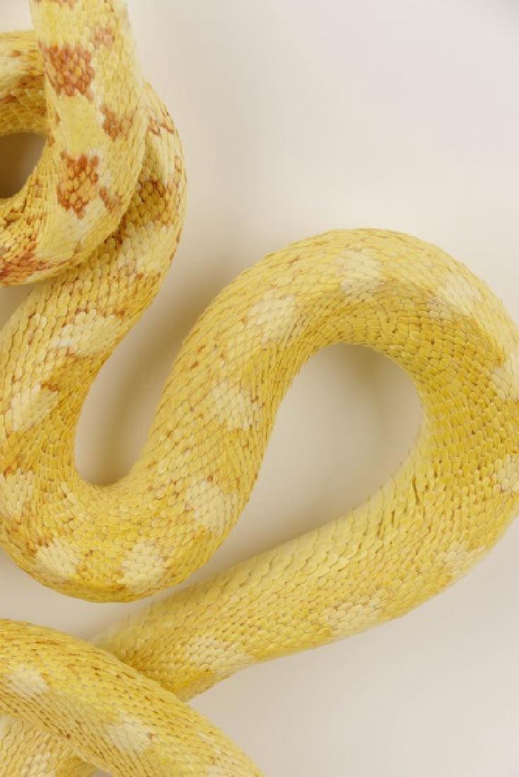 Christopher Marley, Albino Bull Snake Specimen - 4