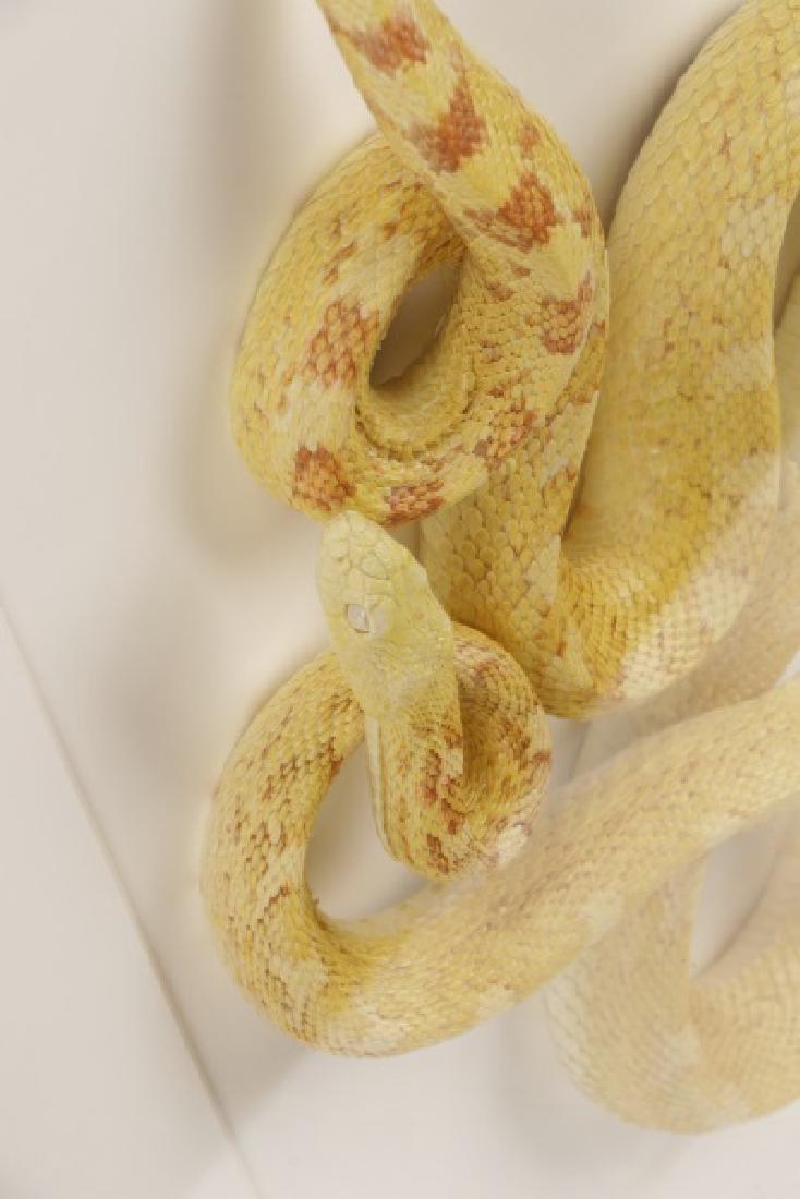 Christopher Marley, Albino Bull Snake Specimen - 7