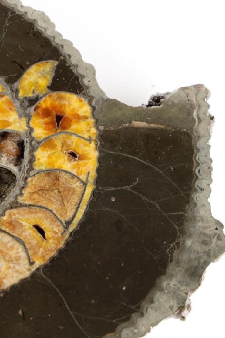 Pair Speetoniceras Ammonites with Drusy Pyrite - 5