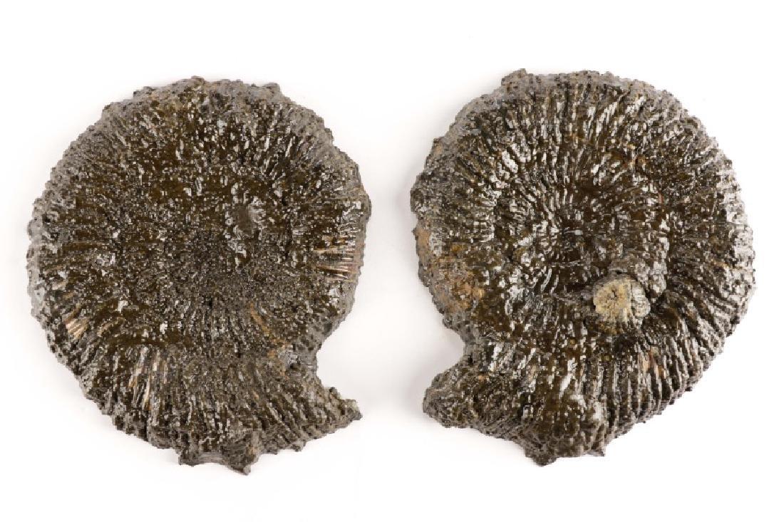 Pair Speetoniceras Ammonites with Drusy Pyrite - 6