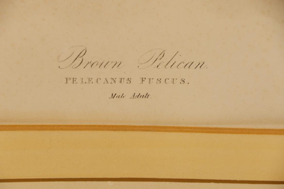 "Audubon, ""Brown Pelican"", Bien Edition - 4"