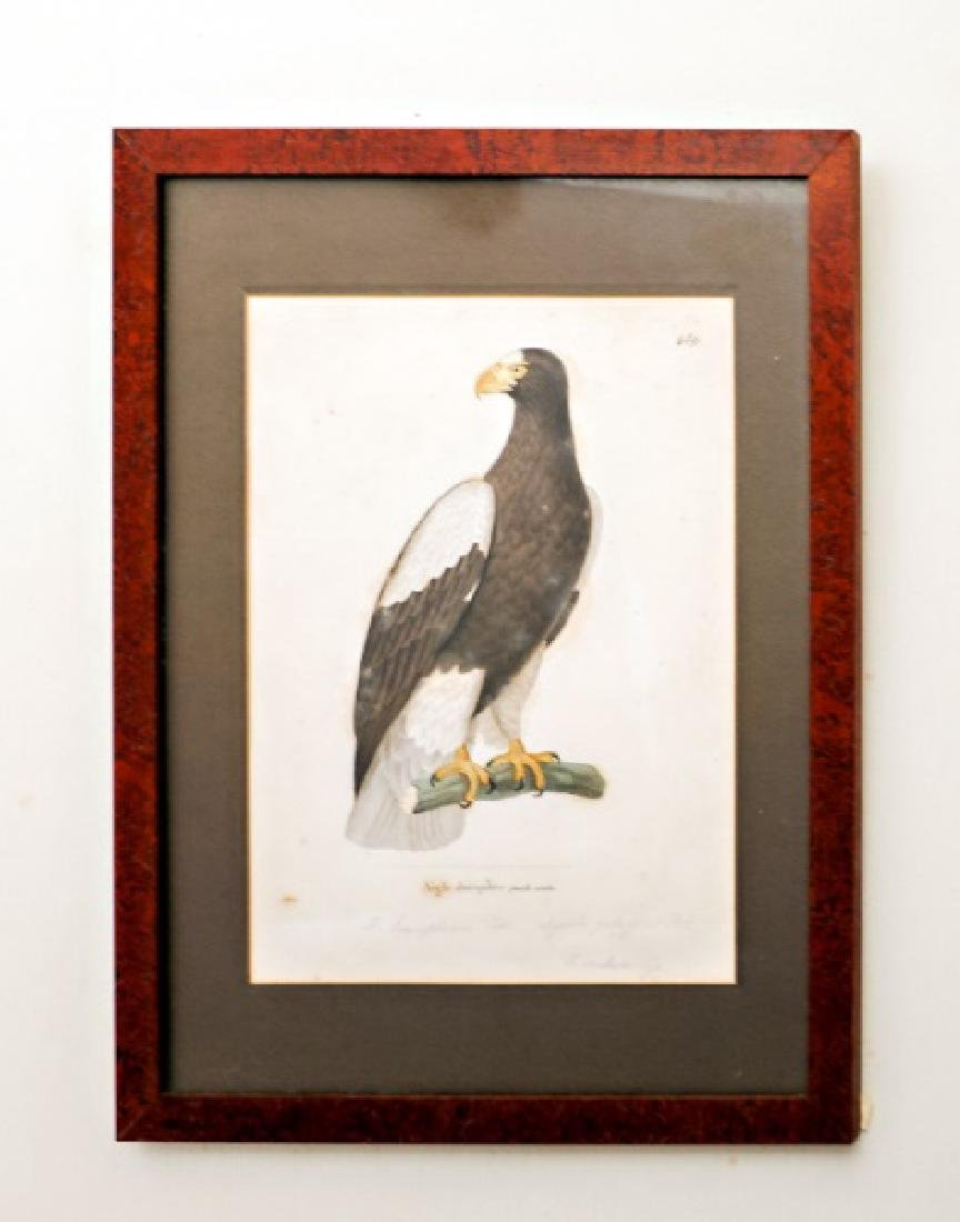 F. Hellese Hand Colored Engraving, Bird of Prey