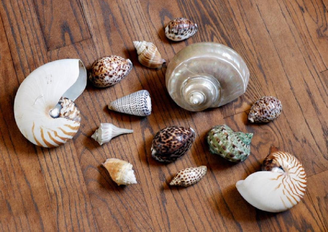 Group of 13 Assorted Seashells