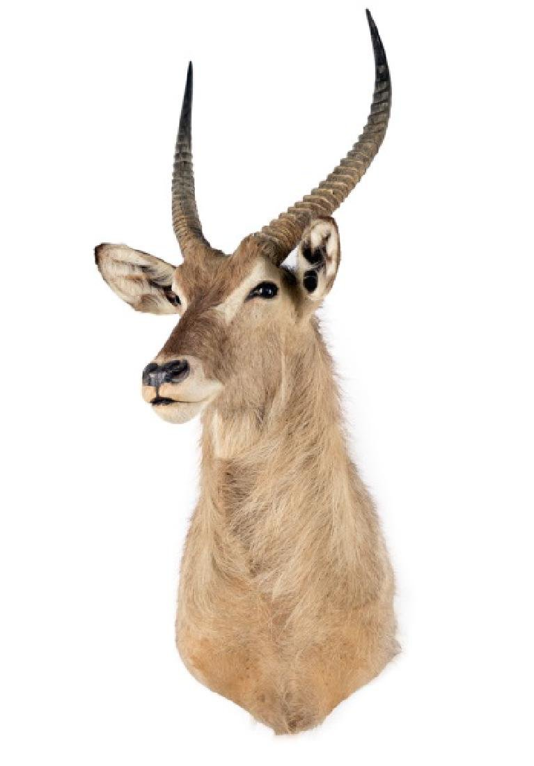 Waterbuck Taxidermy Trophy Mount