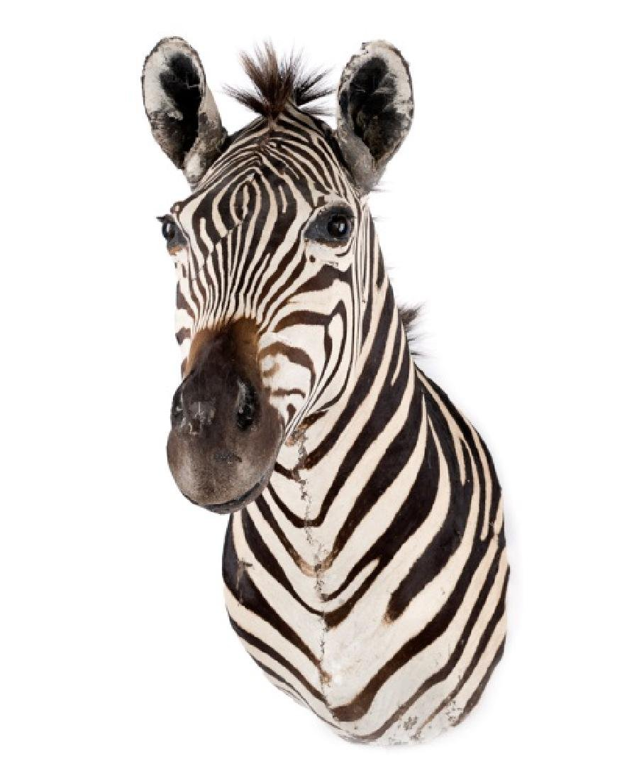 African Zebra Taxidermy Mount