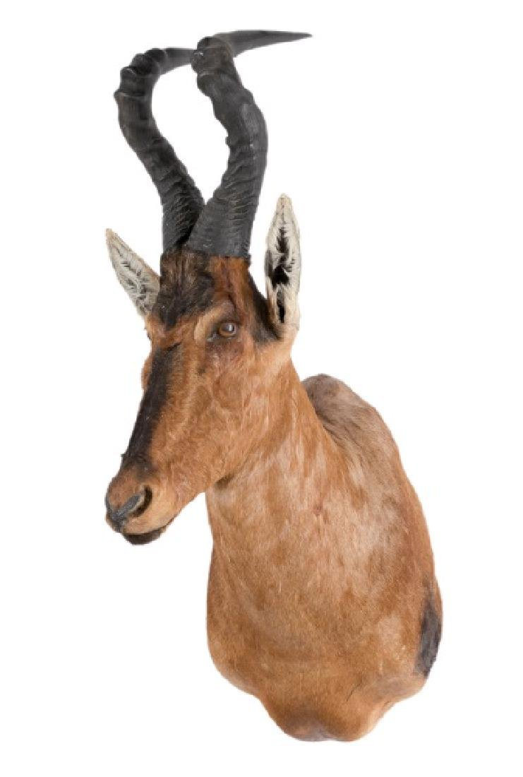 Red Hartebeest Taxidermy Trophy Mount