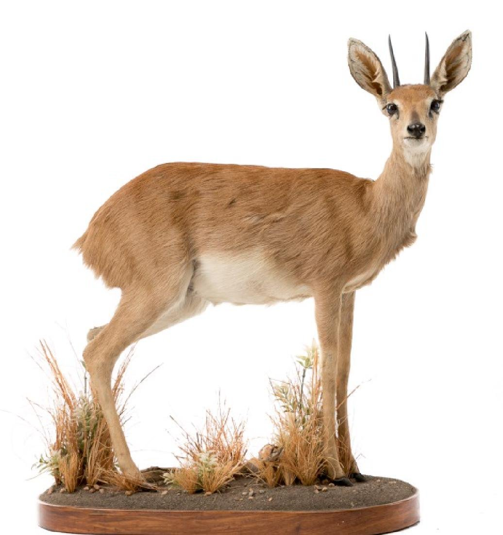 African Dik Dik Full Body Taxidermy Mount
