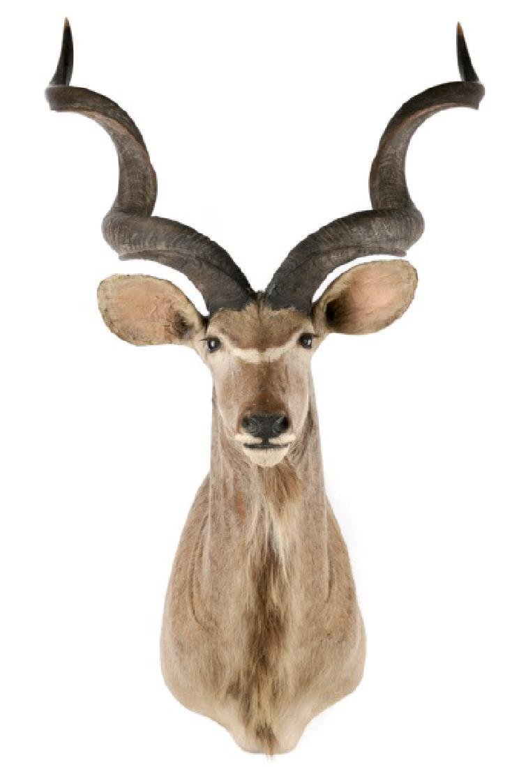 Greater Kudu Taxidermy Trophy Mount