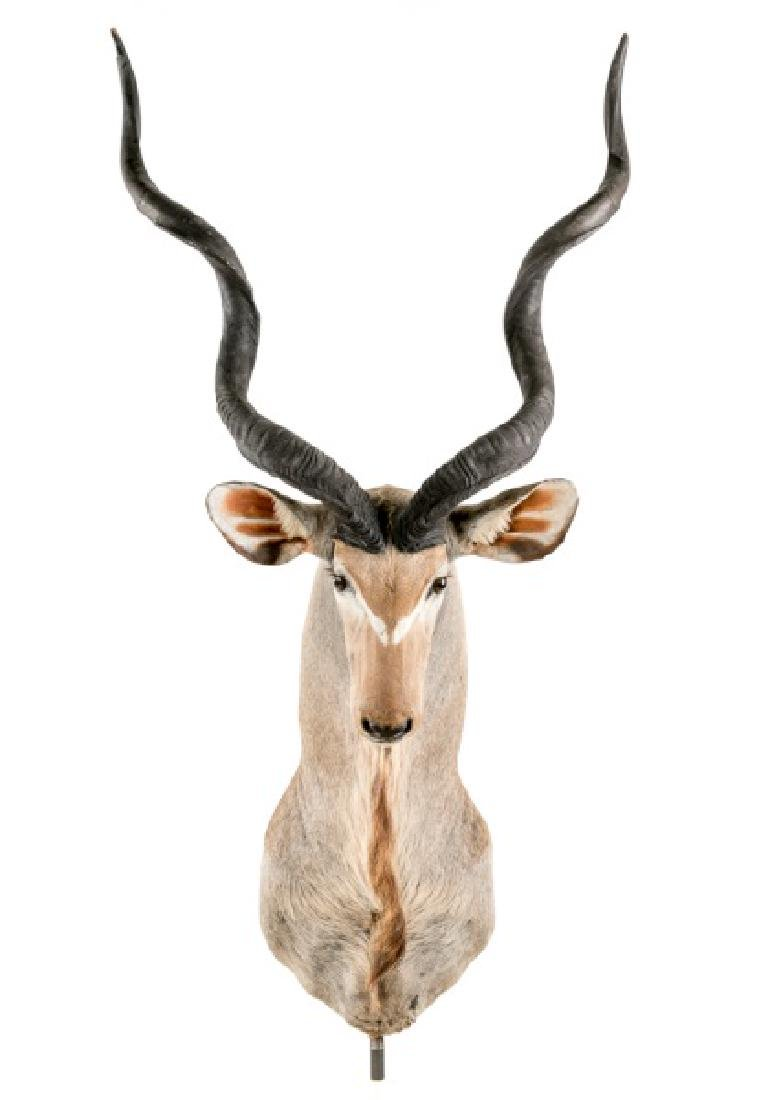 Greater Kudu Taxidermy Shoulder Mount On Stand