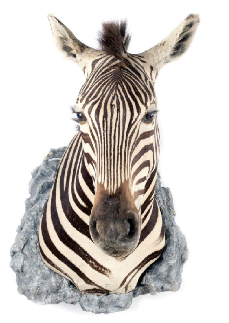African Taxidermy Mounted African Zebra Head