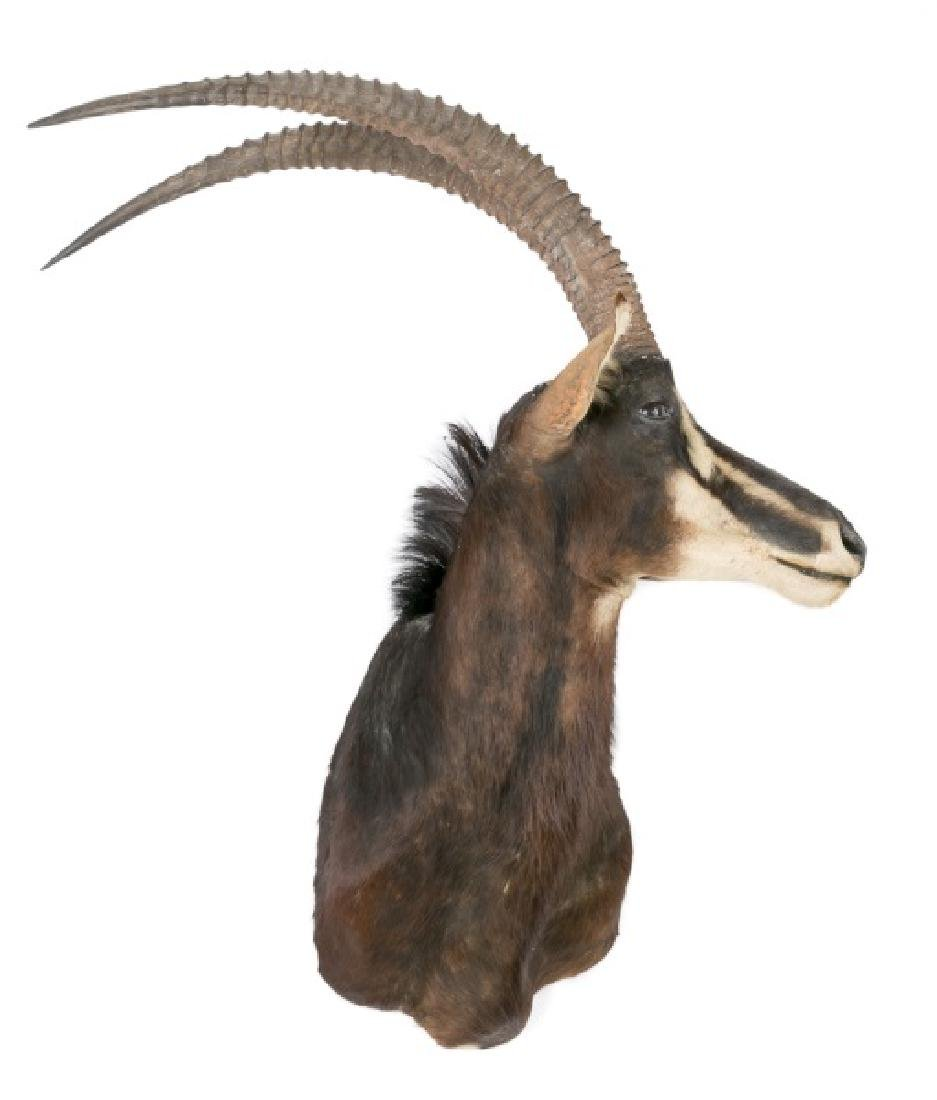 African Sable Taxidermy Mount