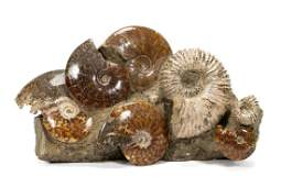 LARGE FOSSILIZED  POLISHED AMMONITE SPECIMENS