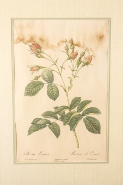 Collection of Four Redouté Framed Botanical Prints - 2