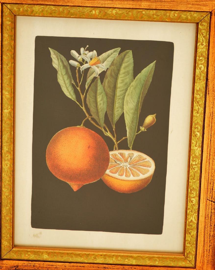 John-Richard, pair botanical fruit prints - 2