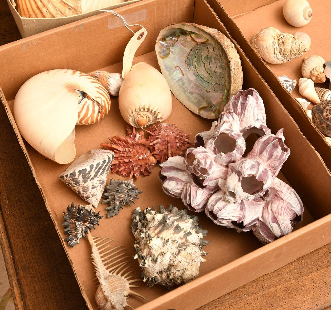 Nice beachcomer's shell collection - 2