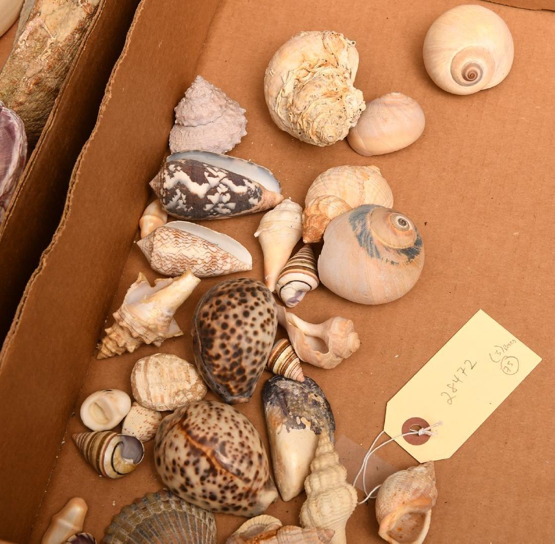 Nice beachcomer's shell collection - 3