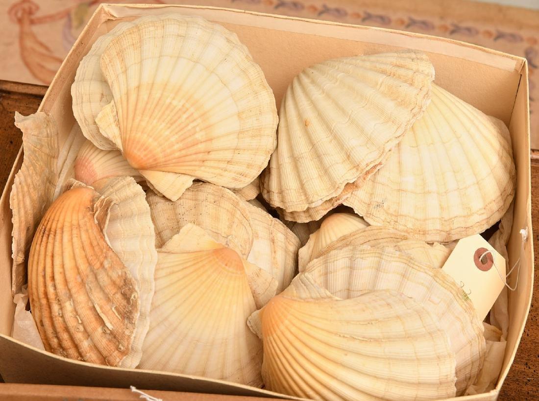 Nice beachcomer's shell collection - 4