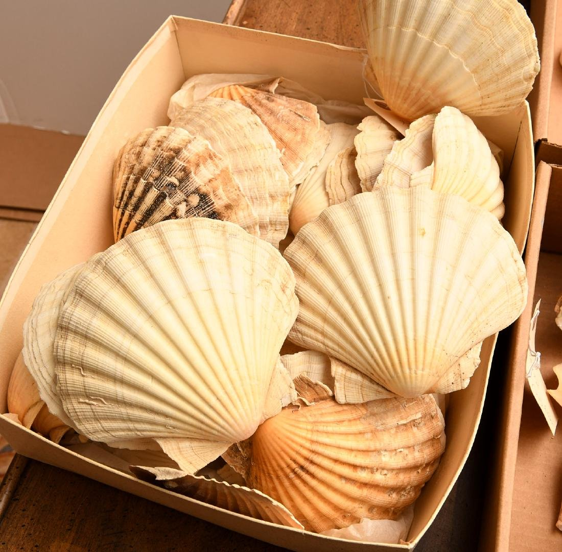 Nice beachcomer's shell collection - 7