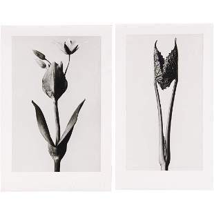 Karl Blossfeldt, (2) photographs