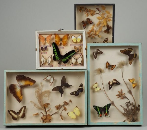 568: (4) butterfly collector's specimen study dioramas