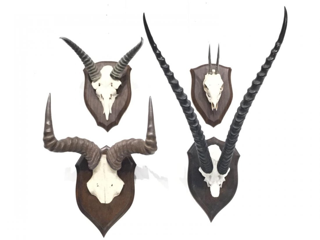 (4) horned skull cap taxidermy mounts