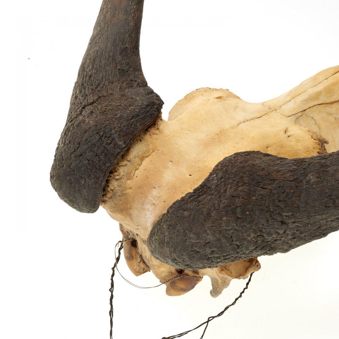 (2) Taxidermy horned skulls - 4