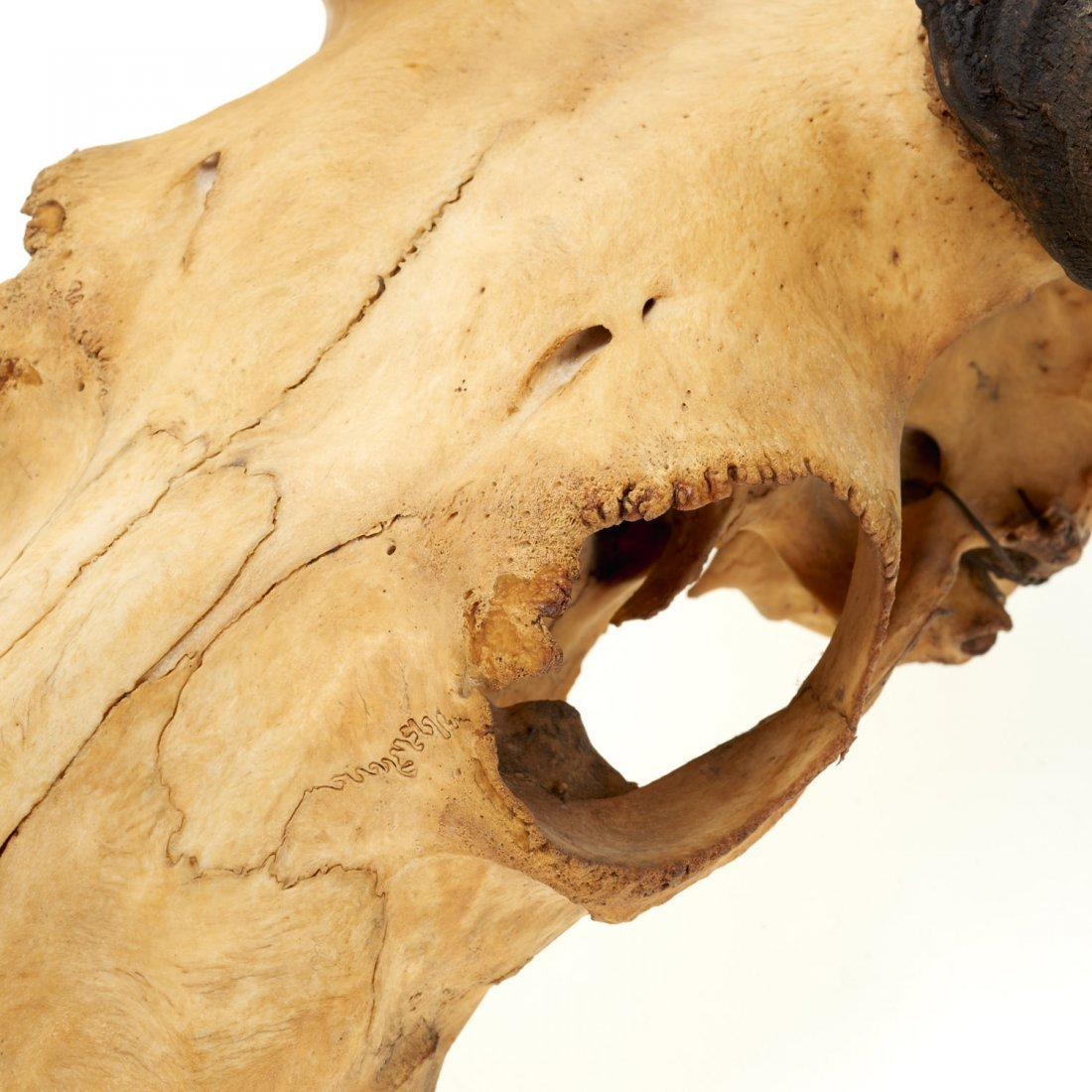 (2) Taxidermy horned skulls - 5