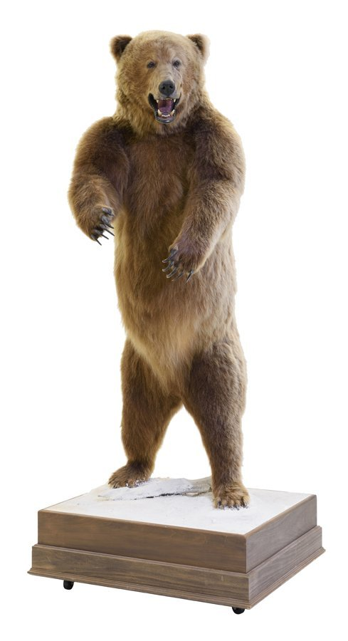 A TAXIDERMIED FULL-MOUNT RUSSIAN BROWN BEAR