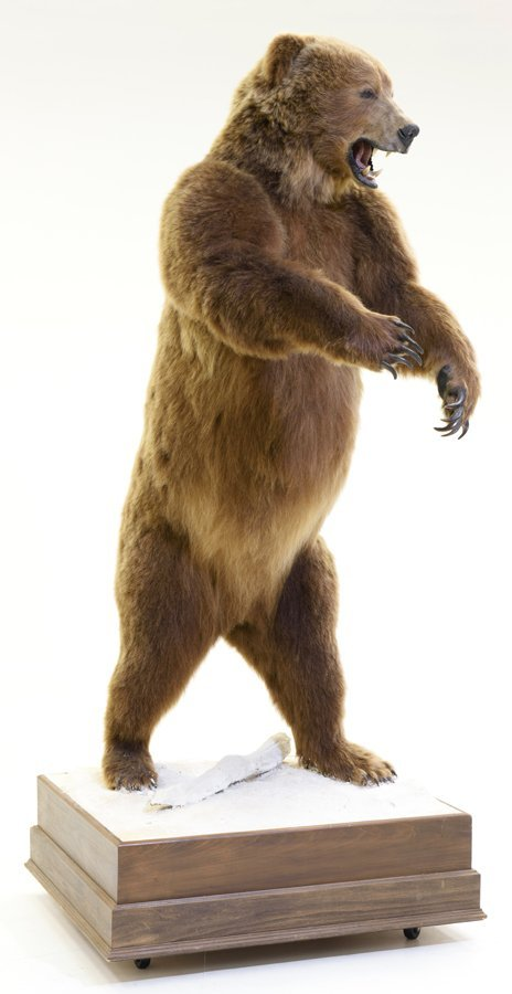A TAXIDERMIED FULL-MOUNT RUSSIAN BROWN BEAR - 2