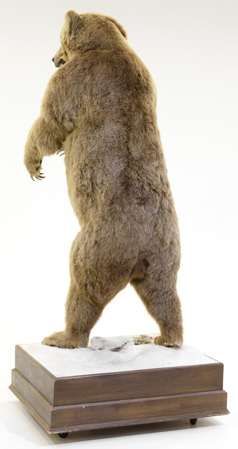 A TAXIDERMIED FULL-MOUNT RUSSIAN BROWN BEAR - 3
