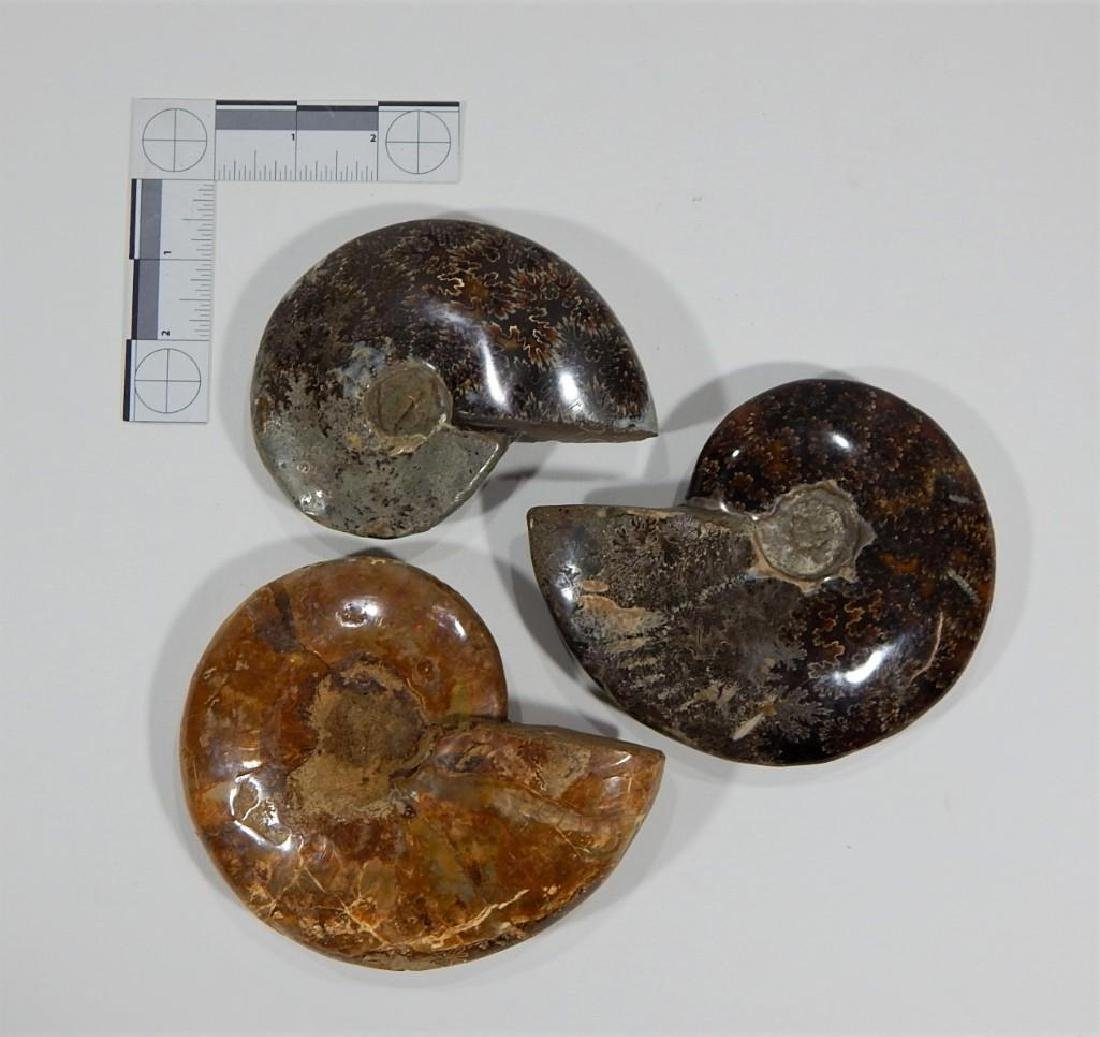 Three Large Ammonite Fossils