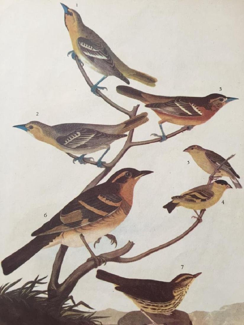 c1946 Audubon Print, #433 A Featured Pot-Pourri