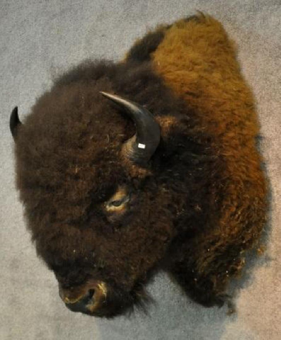 Late 19th Century American Buffalo Head Mount