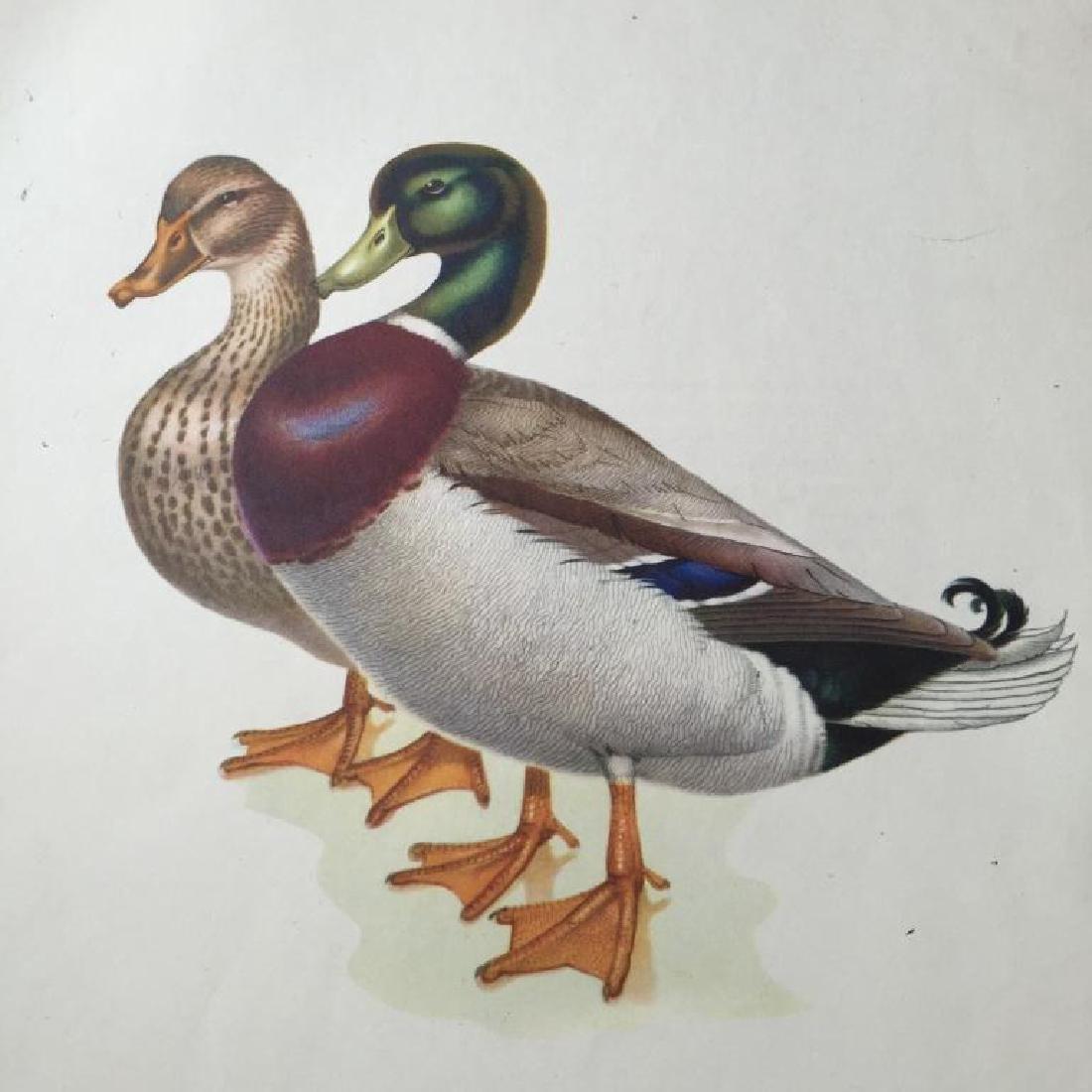 1950 Menaboni Print, Mallard Ducks