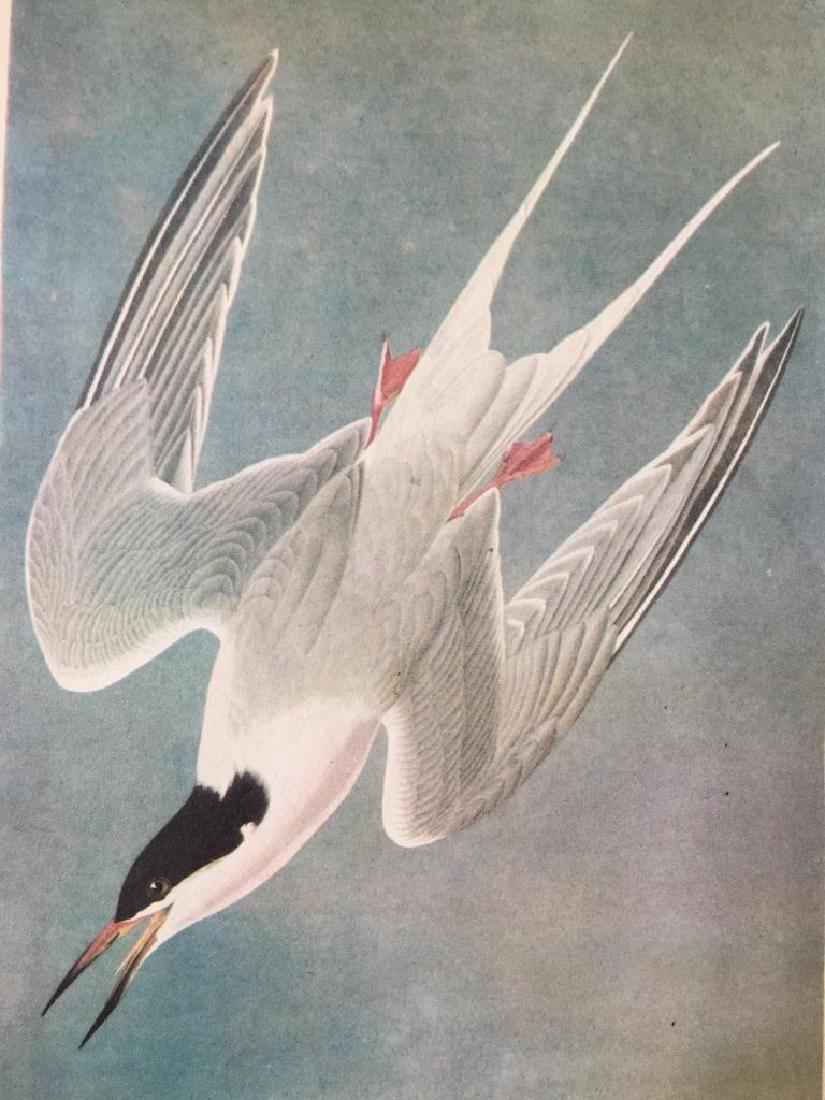 c1946 Audubon Print, #240 Roseate Tern